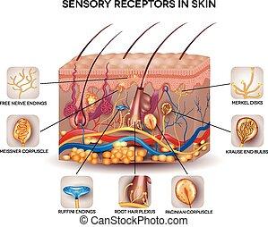 Sensorische Rezeptoren in der Haut