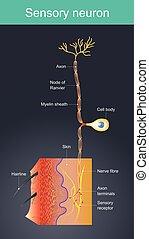 Sensorischer Neuron. Zellen wirken als externe Reize in verschiedenen Umgebungen.