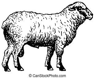 Shropshire-Schafe