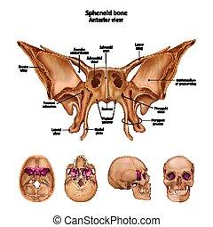 sites., alles, beschreibung, bone., name, sphenoid
