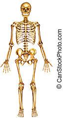 Skeleton Frontsicht
