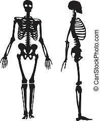 skeleton., silhouette, menschliche