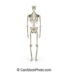 skelett, freigestellt, koerperbau, realistisch, menschliche , weißes