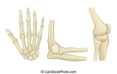 skelett, gelenke, knochen, satz, vektor, zubehörteil, menschliche