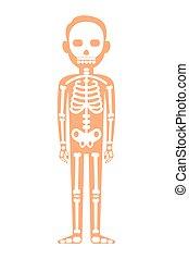 skelett, halloween, menschliche , freigestellt, anatomy., weißes, vektor
