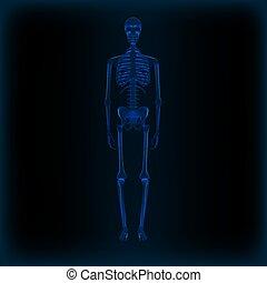 skelett, medizin, koerperbau, realistisch, menschliche , bild, röntgenaufnahme