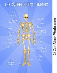 skelett, menschliche , system