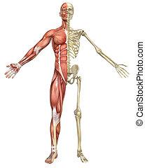 skelett, muskulös, split, front, mann, ansicht