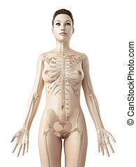 skelett, weibliche