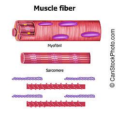 skelettartig, faser, struktur, muskel