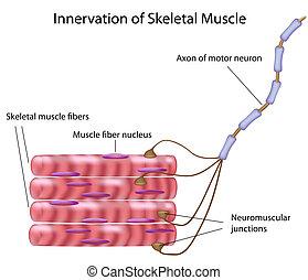 skelettartig, muskel