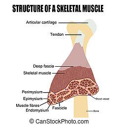 skelettartig, muskel, struktur