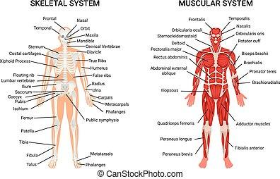 skelettartig, systeme, menschliche , muskulös, plakat