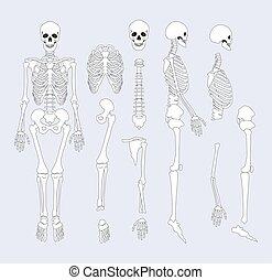 skelettartig, zubehörteil, abbildung, system, vektor, menschliche