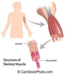 Skelettmuskelstruktur, Eps10