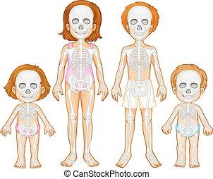 Skelettsystem des Menschen.