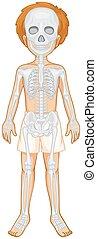 Skelettsystem des menschlichen Jungen.