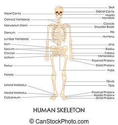 skelton, menschliche