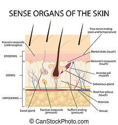 skin., abschnitt, menschliche , kreuz