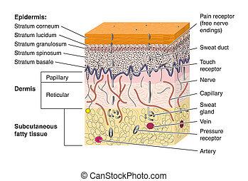 Skin Cross Sektion