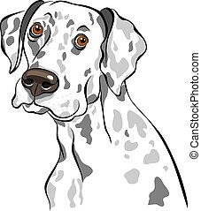 skizze, rasse, hund, vektor, closeup, porträt, dalmatiner