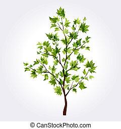 Sommerbaum. Maple