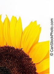 Sonnenblume auf Weiß.