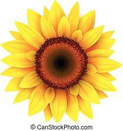 Sonnenblume,