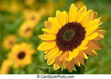 Sonnenblume im warmen Sonnenlicht