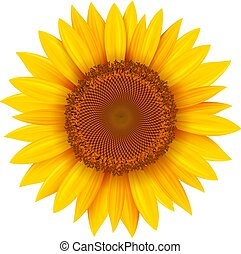 Sonnenblumen isoliert.