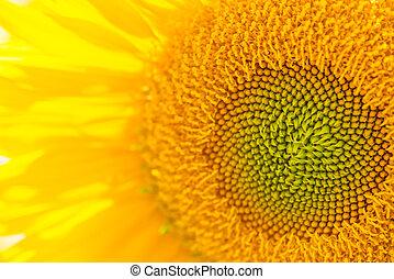 Sonnenblumen schließen