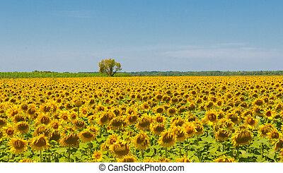 Sonnenblumenfeld, Licht, Stirn, flacher Fokus