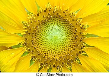 Sonnenblumenverschluss