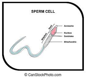 sperma zelle, koerperbau, diagramm, menschliche