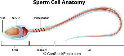 sperma zelle, struktur