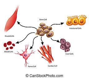 Stammzellen.