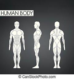 stehende , ganzfigur, ansicht, zurück, länge, muskel, front, mann