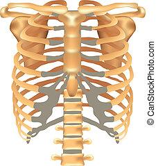 sternum, sc, rippen, schlüsselbein, thorax-