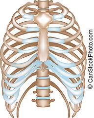 sternum, thorax-, rippen, wirbel