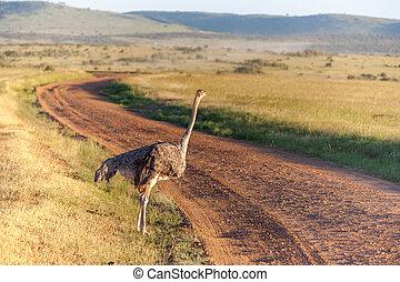 Strauß, der auf Savanne in Afrika läuft. Safari. Kenia