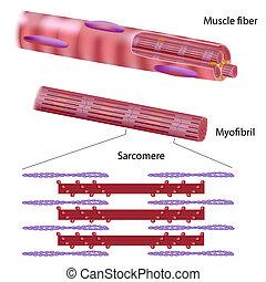 Struktur der Skelettmuskelfaser