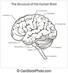 struktur, gehirn, vektor, schematisch, menschliche