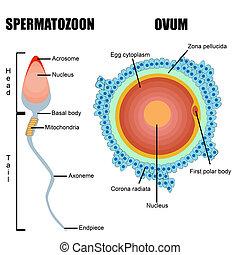 Struktur menschlicher Gameten: Ei und Sperma