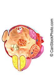 symptome, prostata, krankheit, blase, &
