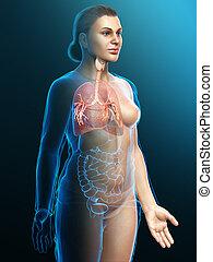 system., abbildung, teil, bronchi, kehlkopf, atmungs, luftröhre, 3d