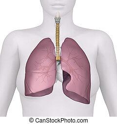 system, atmungs, ansicht, weibliche , vorhergehend, koerperbau