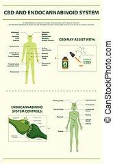 system, cbd, senkrecht, endocannabinoid, infographic