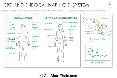 system, geschaeftswelt, infographic, horizontal, cbd, endocannabinoid