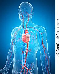 system, menschliche , vaskulär