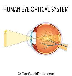 system., optisch, auge, menschliche , abbildung